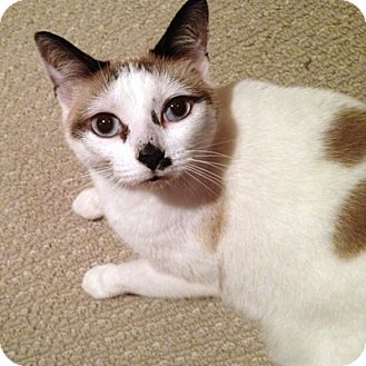 Snowshoe Cat for Sale in Mississauga, Ontario, Ontario - Odille