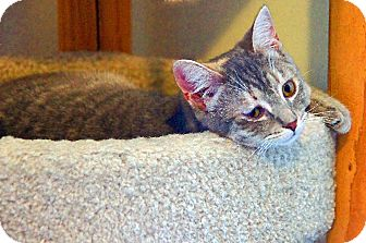 American Shorthair Cat for Sale in Victor, New York - Heidi
