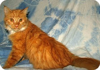 Maine Coon Cat for Sale in Oxford, New York - Sylvia