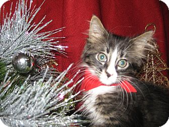 Domestic Mediumhair Kitten for Sale in Clearfield, Utah - Cavaleer
