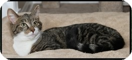 Domestic Shorthair Cat for adoption in Albany, New York - Francesca