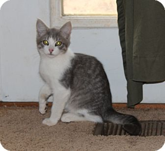 American Shorthair Kitten for Sale in Plainfield, Connecticut - Harold