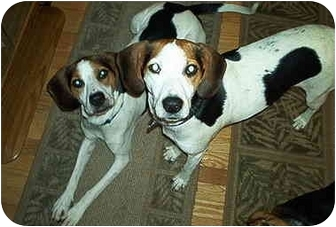 Foxhound Dog for adption in Waldorf, Maryland - Sweet Pea