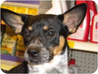 Cattle Dog Mix Puppy for adption in Fresno, California - Chelsea