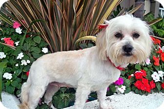 Lhasa Apso Mix Dog for adption in Los Angeles, California - VALENCIA
