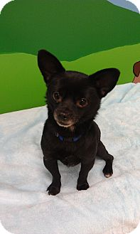 Chihuahua Mix Dog for Sale in New Windsor, New York - Harry