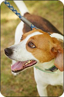 Harrier Dog for adption in Garland, Texas - Juneau
