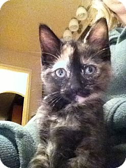 Domestic Mediumhair Kitten for Sale in Emsdale (Huntsville), Ontario - Sabrina - Born in October!
