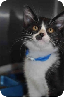 Domestic Shorthair Cat for adoption in Grafton, West Virginia - Clem