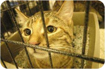 American Shorthair Cat for adoption in Chino, California - Foxy & Roxy
