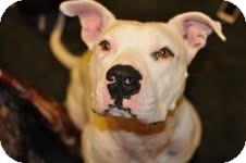 American Bulldog Mix Dog for adption in Garland, Texas - Kimbo