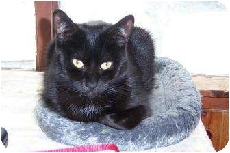 Domestic Shorthair Cat for adoption in Orillia, Ontario - Violet