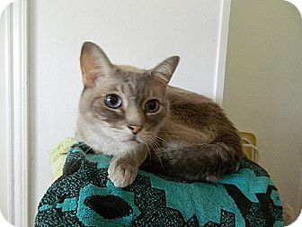 Siamese Cat for Sale in The Colony, Texas - Mystical