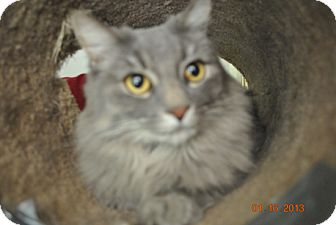 Maine Coon Cat for Sale in Laguna Woods, California - Penny