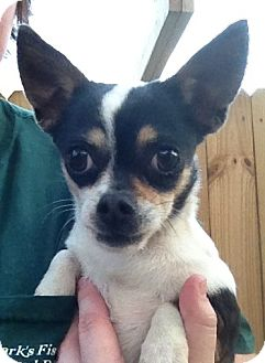 Chihuahua Mix Dog for Sale in Gainesville, Florida - Ya-Ya