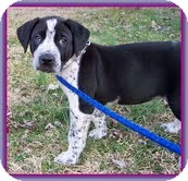 Labrador Retriever/Hound (Unknown Type) Mix Puppy for Sale in Spring Valley, New York - Pepper (In New England)