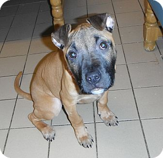 Boxer Mix Puppy for Sale in Jackson, Michigan - Daisy
