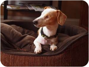 Dachshund Mix Dog for Sale in Portland, Oregon - PRINCE HENRY