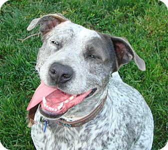 Dale, IL - German Shorthaired Pointer/American Pit Bull Terrier Mix