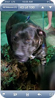 American Staffordshire Terrier/Pit Bull Terrier Mix Dog for adption in Bedford, Texas - MidNight