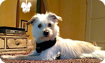 Terrier (Unknown Type, Small) Mix Dog for Sale in Thousand Oaks, California - Huxley