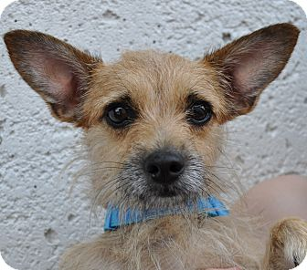 Terrier (Unknown Type, Small)/Chihuahua Mix Dog for adption in Tucker, Georgia - Crissy