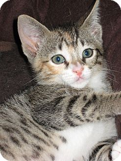 Domestic Shorthair Kitten for adoption in Lighthouse Point, Florida - Lilly