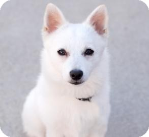 American Eskimo Dog/Pomeranian Mix Dog for Sale in Kettering, Ohio - Solstice
