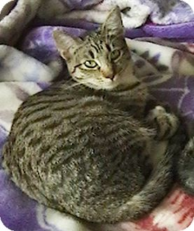 Domestic Shorthair Cat for adoption in North Highlands, California - Connie