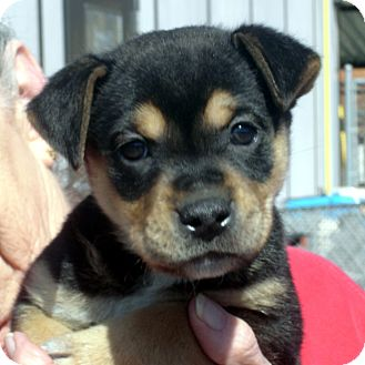 Rottweiler/German Shepherd Dog Mix Puppy for Sale in hagerstown, Maryland - Tamara