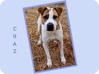 German Shepherd Dog/Bull Terrier Mix Dog for adption in Dallas, North Carolina - CHAZ