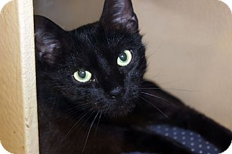 Domestic Mediumhair Cat for adoption in Dallas, Texas - Annie