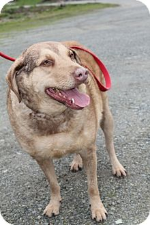 Chesapeake Bay Retriever Mix Dog for Sale in Grants Pass, Oregon - Cara