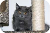 Russian Blue Cat for adoption in Stafford, Virginia - Smoki