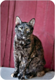 Domestic Shorthair Cat for Sale in Carencro, Louisiana - Phoenix