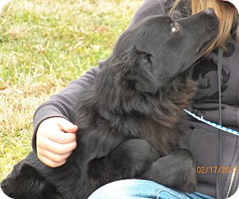 Flat-Coated Retriever/Golden Retriever Mix Dog for Sale in Sussex, New Jersey - Laverne