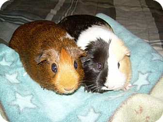 Guinea Pig for Sale in johnson creek, Wisconsin - patches and brownie