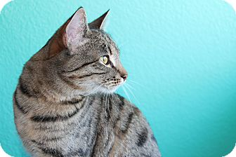 Ocicat Cat for Sale in Mesa, Arizona - Katniss