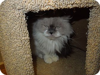 Persian Cat for Sale in Medina, Ohio - Ying