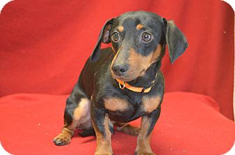 Dachshund Mix Dog for Sale in New cumberland, West Virginia - Nubs
