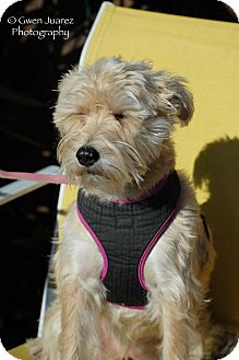 Wheaten Terrier/Schnauzer (Standard) Mix Dog for Sale in Houston, Texas - Jill