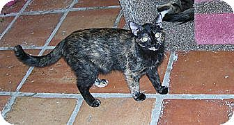 Domestic Shorthair Cat for adoption in Tempe, Arizona - Nadia