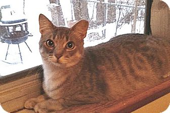 Domestic Shorthair Cat for adoption in Lincoln, Nebraska - Zariel (Zari)