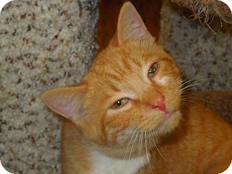 Domestic Shorthair Cat for Sale in Medina, Ohio - Yeller