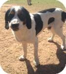 Spaniel (Unknown Type) Mix Dog for Sale in Manchester, Connecticut - Frankie in Ct