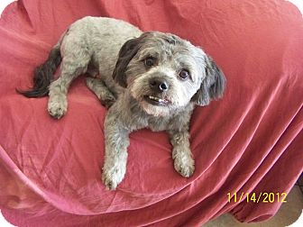Shih Tzu Mix Dog for Sale in Scottsdale, Arizona - Cody