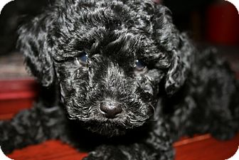 Poodle (Toy or Tea Cup) Puppy for Sale in Van Nuys, California - Joey