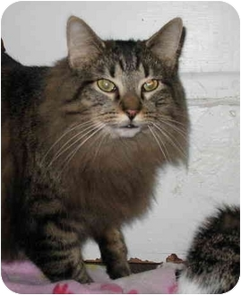 Domestic Longhair Cat for adoption in Cincinnati, Ohio - Purr-dy