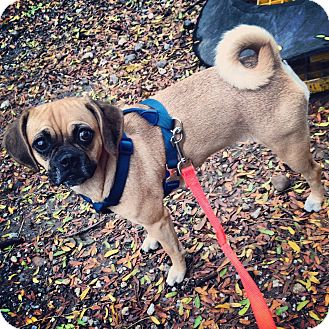 Pug/Beagle Mix Dog for Sale in New York, New York - Wednesday