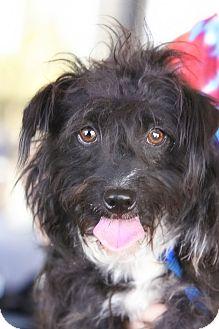 Scottie, Scottish Terrier Mix Dog for Sale in Scottsdale, Arizona - Oscar